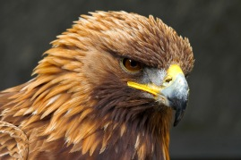 Golden Eagle Portrait against a black background